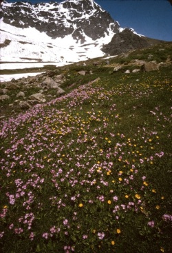 Kurd-wildflowers